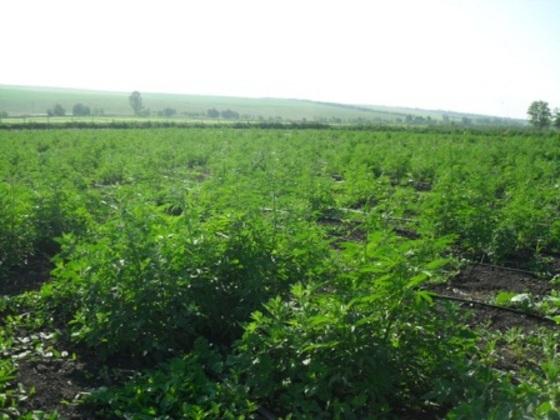 Конопляное поле в Новониколаевке, по документам проходило как посевы овощей и кукурузы. Фото @МВД Од. обл